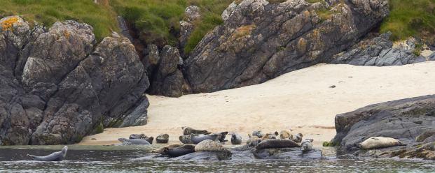 Robben auf Oronsay