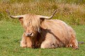 Schottisches Hochlandrind mit Hippiefrisur