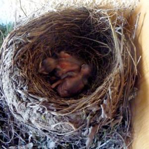 Nest, Tag 5 nach Schlupf