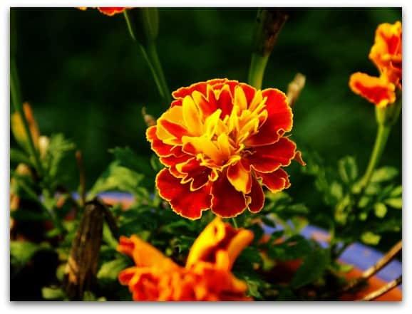my eldest son's birth flower is a marigold