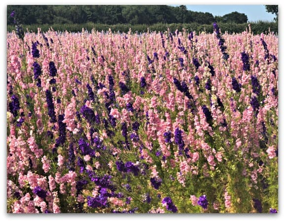 Miles of beautiful delphiniums at The Real Flower Petal Confetti Company in Worcestershire