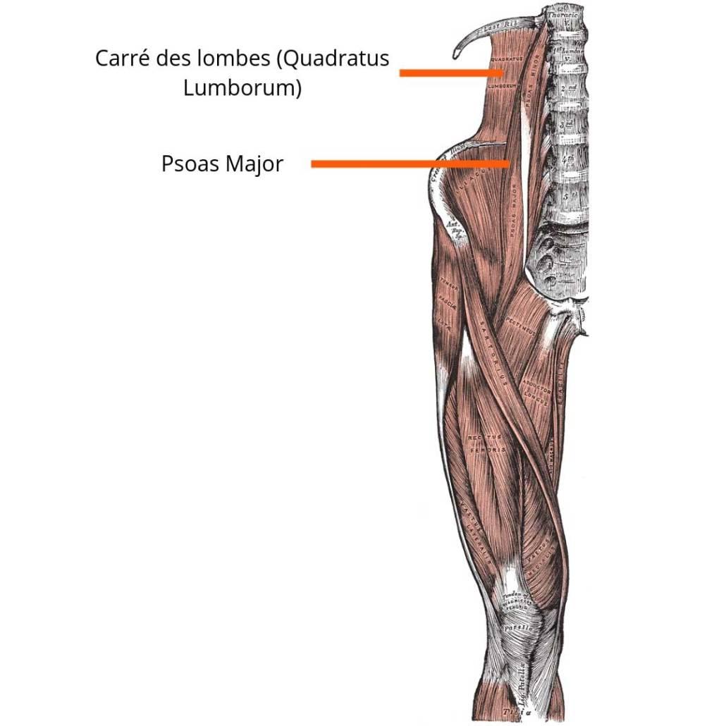 stretchingpro-etirements-carre-des-lombes-quadratus-lumborum)