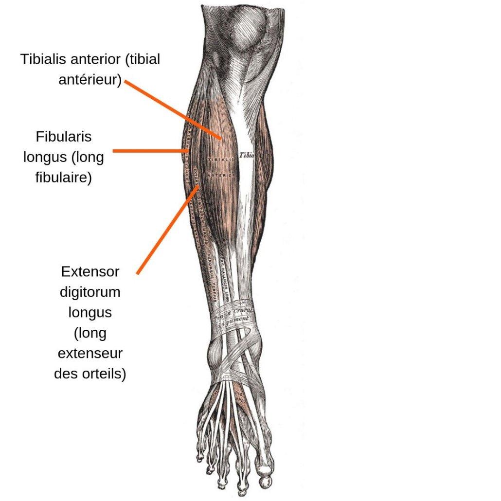stretchingpro-etirements-tibia-anterieur-anatomie