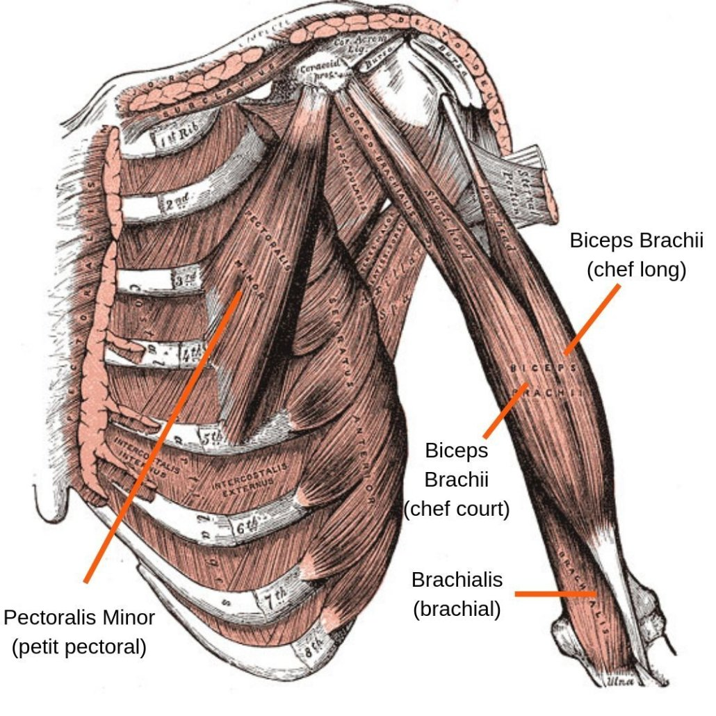 stretchingpro-etirements-bras-anatomie-humerus-pectoraux