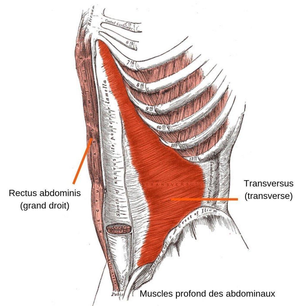 stretchingpro-etirements-abdominaux-muscles-profond