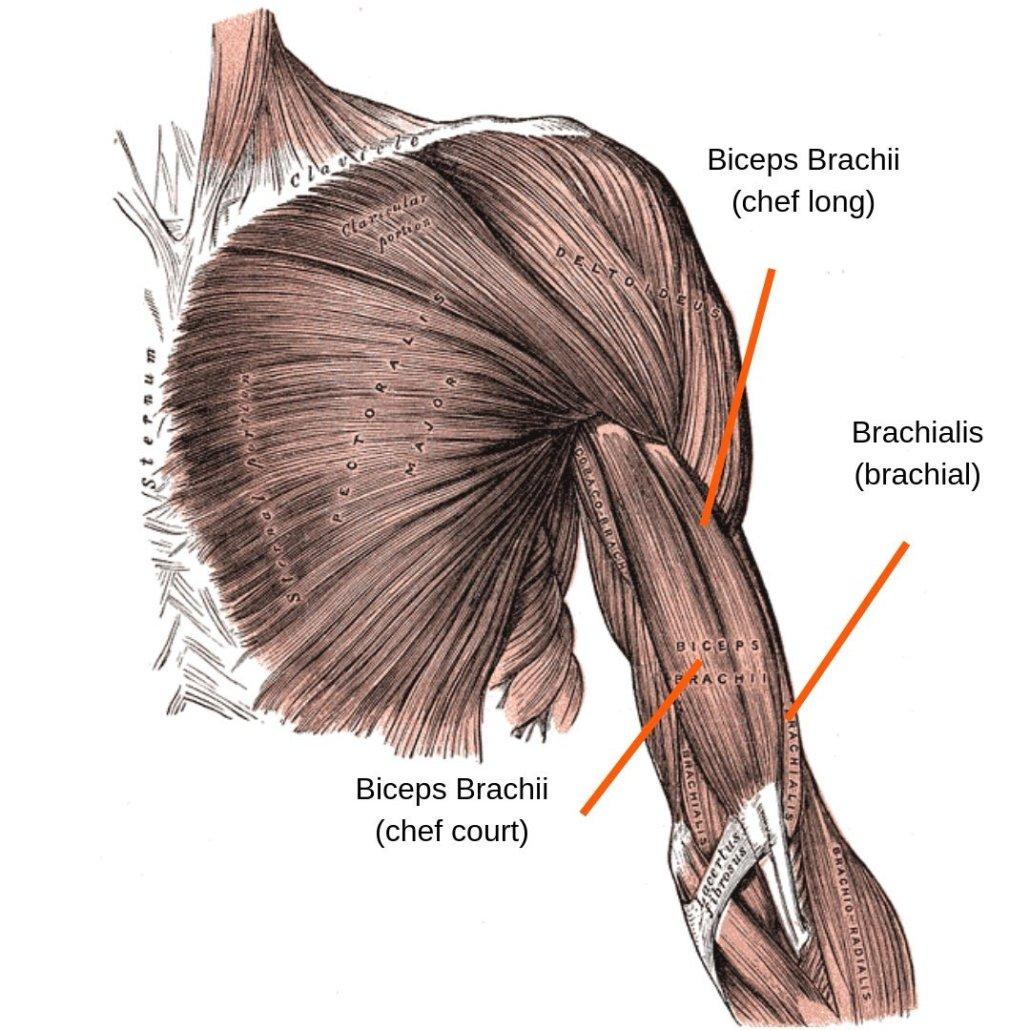 stretchingpro-etirements-biceps-anatomie