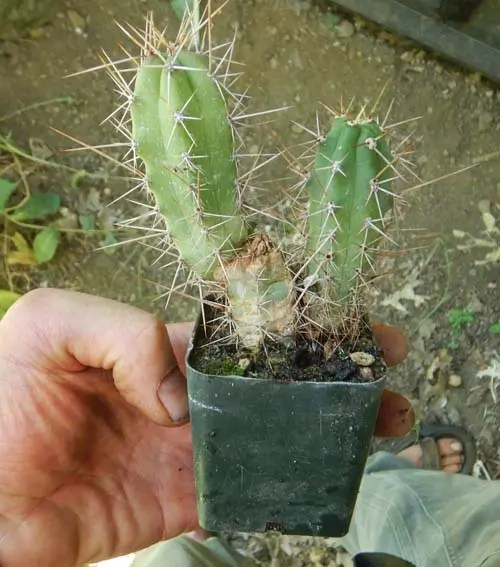 E Icaro Dna Seeds 50ct Peruvianus Peruvian Torch