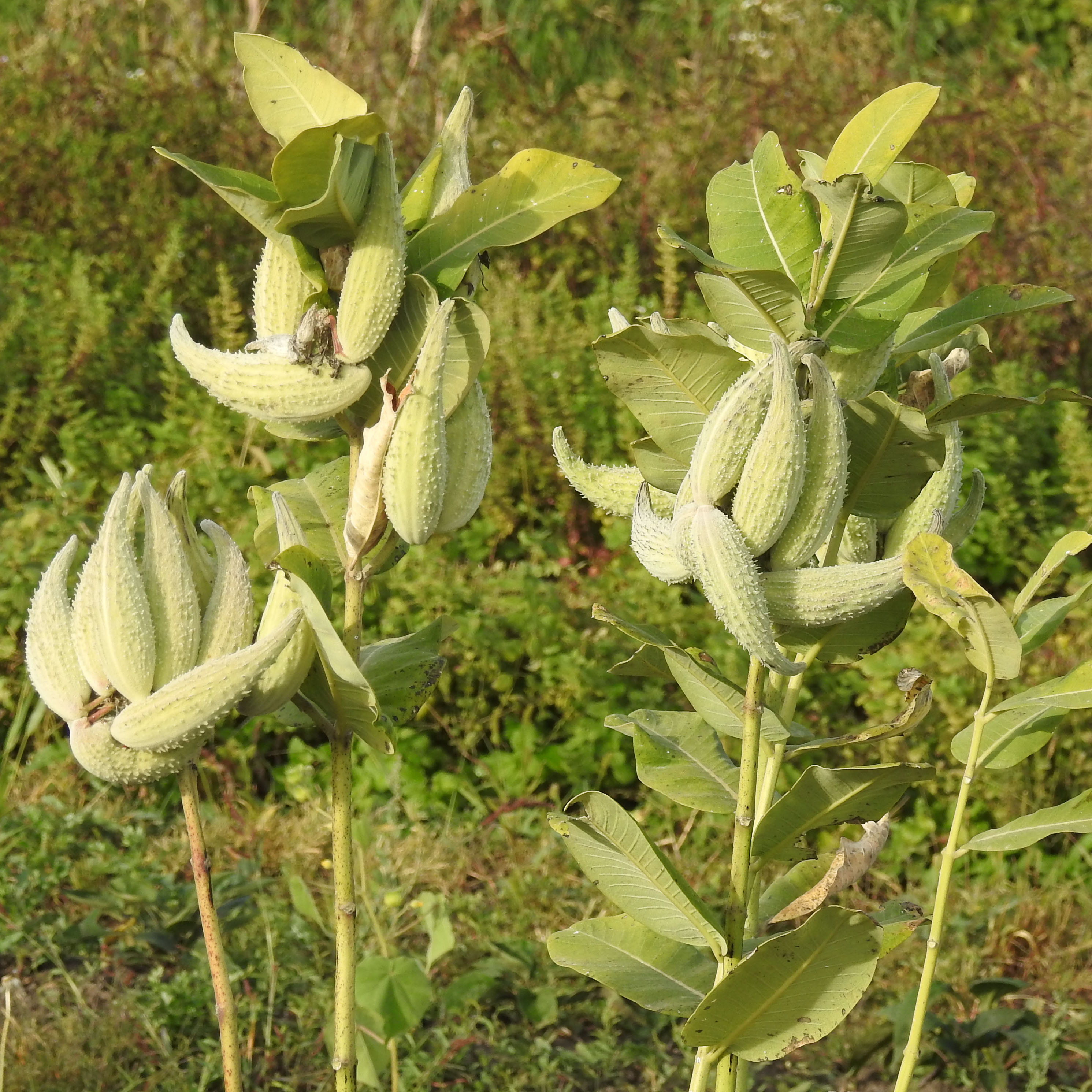 Milkweed common asclepias syriaca packet of 50 seeds for Garden pods to live in