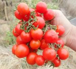 Tomato_chadwick_clump_500