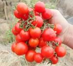 Tomato_chadwick_clump_500
