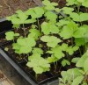 Ashitaba (Angelica keiskei koidzumi), packet of 20 seeds, organic