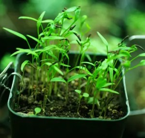 Chervil (Anthriscus cerefolium), packet of 100 seeds, organic