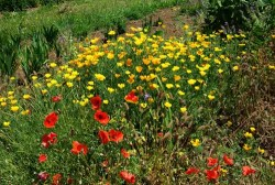 Clover and Poppies Cover Crop Seed Mix