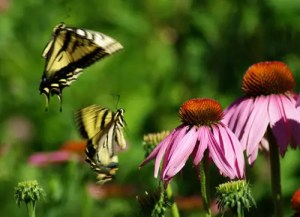 Butterfly Plants Seed Collection (8 seed packets): Aromatic Aster, Cardinal Flower, Echinacea purpurea, Gayfeather, Common Milkweed, Showy Milkweed, Mexican Sunflower, Wallflower