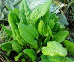 Sorrel, Garden (Rumex acetosa), packet of 100 seeds, organic