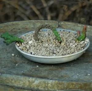 Huernia (Huernia keniensis) potted plant, organic