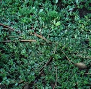Purslane (Portulaca oleracea), packet of 100 seeds, organic