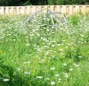 Queen Anne's Lace (Daucus carota), packet of 100 seeds, Organic [WA no]