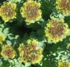 Rhodiola, Russian (Rhodiola rosea), packet of 100 seeds
