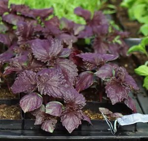 Shiso, Red Leaf (Perilla frutescens), packet of 30 seeds, organic