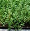 Bouquet Garni Seed Collection (Genovese Basil, Moldavian Balm, Summer Savory, French Thyme), Organic