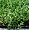 Bouquet Garni Seed Collection (Genovese Basil, Moldavian Balm, Summer Savory, French Thyme), Organic