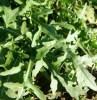 Arugula, Wild Roquette (Diplotaxis tenufolia), packet of 200 seeds, organic