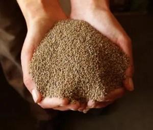 Alfalfa (Medicago sativa) seeds, organic