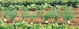 Fennel, Bulbing Finocchio (Foeniculum vulgare), packet of 100 seeds, organic