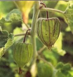 Goldenberry, Peruvian (Physalis peruviana), packet of 100 seeds, organic