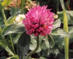 Clover, Red (Trifolium pratense), inoculated, organic