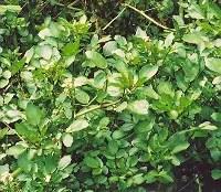 Watercress (Nasturtium officinale), packet of 200 seeds