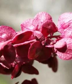 Orach, Red (Atriplex hortensis rubra), packet of 50 seeds, organic