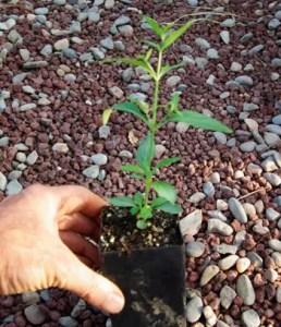 Andrographis (Andrographis paniculata) potted plant, organic