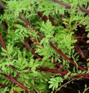 Chamomile, Saint John's (Anthemis sancti-johannis) potted plant, organic