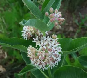 Milkweed, Showy (Asclepias speciosa) potted plant, organic