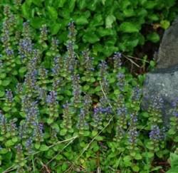Bugle (Ajuga reptans) potted plant, organic