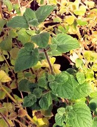 Calamint, Forest* (Calamintha sylvatica) potted plant, organic