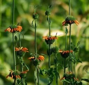 Cordao* (Leonotis nepetaefolia), potted plant, organic