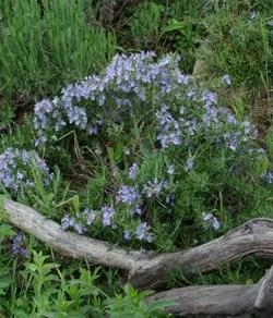 Rosemary, Creeping (Rosmarinus officinalis prostratus) potted plant, organic