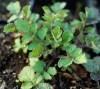 Sage, Dan-shen miltiorrhiza (Salvia miltiorrhiza) potted plant, Organic