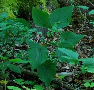 Wild Yam, American--Four-Leaf Yam (Dioscorea quaternata) potted plant, organic
