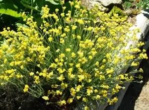 Helichrysum (Helichrysum italicum) potted plant, organic