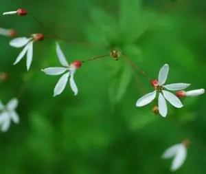 Bowmans Root (Gillenia trifoliata) potted plant, organic