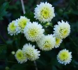 Chrysanthemum, Chinese Gong-ju-hua (Chrysanthemum morifolium) potted plant, organic