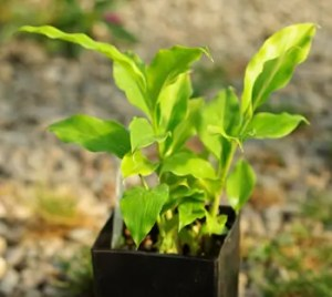 Galangal, Lesser (Alpinia officinarum) potted plant, organic