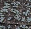 Mint, Licorice (Agastache foeniculum), potted plant, organic