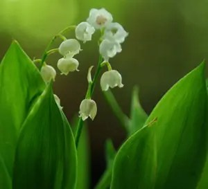 Lily-of-the-Valley (Convallaria majalis) potted plant, organic