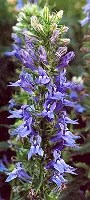 Lobelia, Great Blue* (Lobelia siphilitica) potted plant, organic--ON SALE!