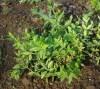 Madder (Rubia tinctorum) potted plant, organic